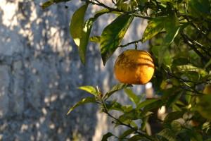 Citrusfrugter - her en bitterorange - var med til at skabe en fyldig aroma.