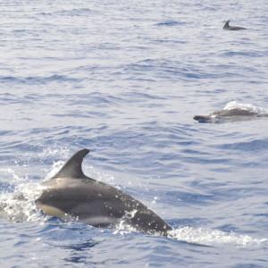 Delfiner i leg lige syd for øen Pico.