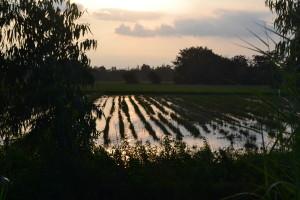 Solnedgang over rismarkerne bag Næsehornsbjerget.
